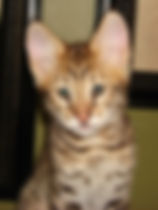 Snow Canyon Savannahs, Savannah kittens, Savannah Cats, Savannah cat, Savannah cat information, Savannah kittens for sale, Available Savannah Kitten, Hybrid Cats, F2 Savannah Cats, F2 Savannah kittens, F3 Savannah kittens, F3 Savannah cats, Savannah Cat Breeder, F1 Savannah cat, F6 Savannah kittens, Available Savannah cats, African serval, hybrid cat, Serval