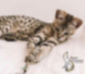 Snow Canyon Savannahs, Savannah kittens, Savannah Cats, Savannah cat, Savannah cat information, Savannah kittens for sale, Available Savannah Kitten, Hybrid Cats, F2 Savannah Cats, F2 Savannah kittens, F3 Savannah kittens, F3 Savannah, Available Savannah cats