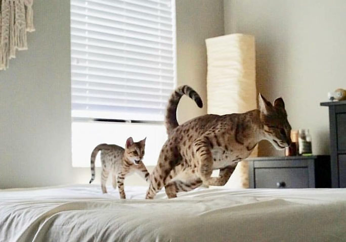 Snow Canyon Savannahs, Available Savannah Cats and kittens