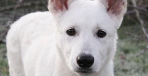 Khione the White Swiss Shepherd is home!