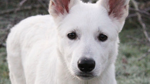 Khione the White Swiss Shepherd is home!
