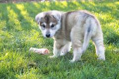 Northern Inuit puppy