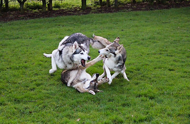 Northern Inuit dogs playing