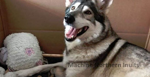 Machine Northern Inuit puppies are here!