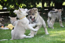 Korra and Mij puppies 2019