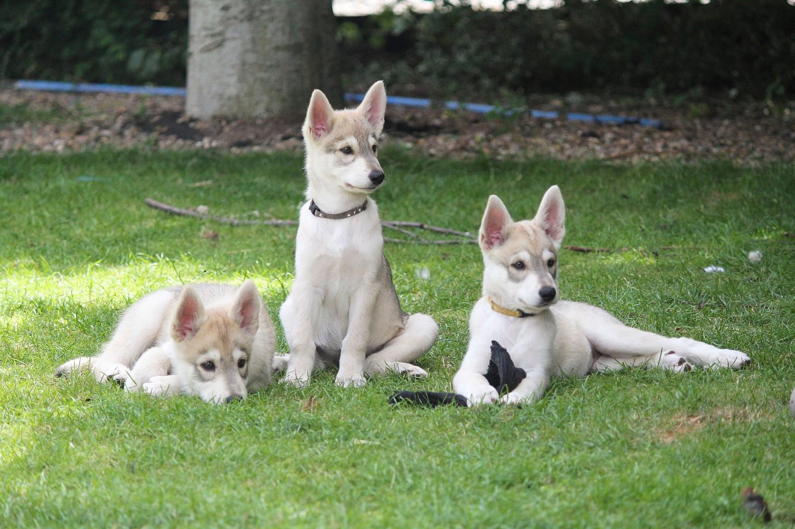 Mij and Korra puppies 2019