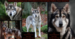 Northern Inuit puppies planned!
