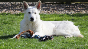 Khione, the White Swiss Shepherd, all healthy!
