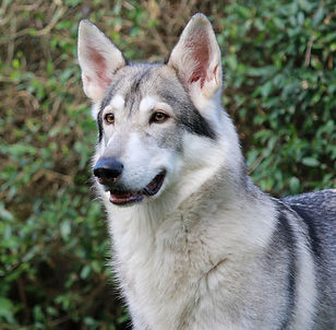 Korra Northern Inuit Dog