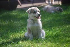 Korra puppy