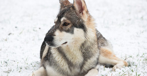 Our Northern Inuit Theia has passed her health tests!