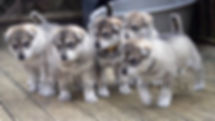 Machine northern inuit puppies