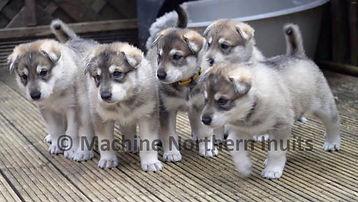 Machine northern inuit puppies