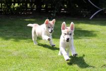 Korra and Mij puppies