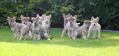 Norhern Inuit puppies