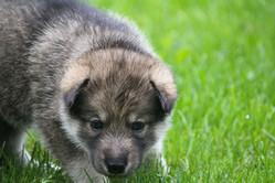 Korra and Mij puppy