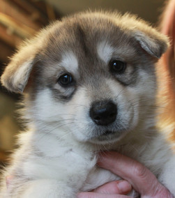 Theia puppy