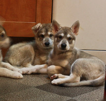 Northern Inuit puppies