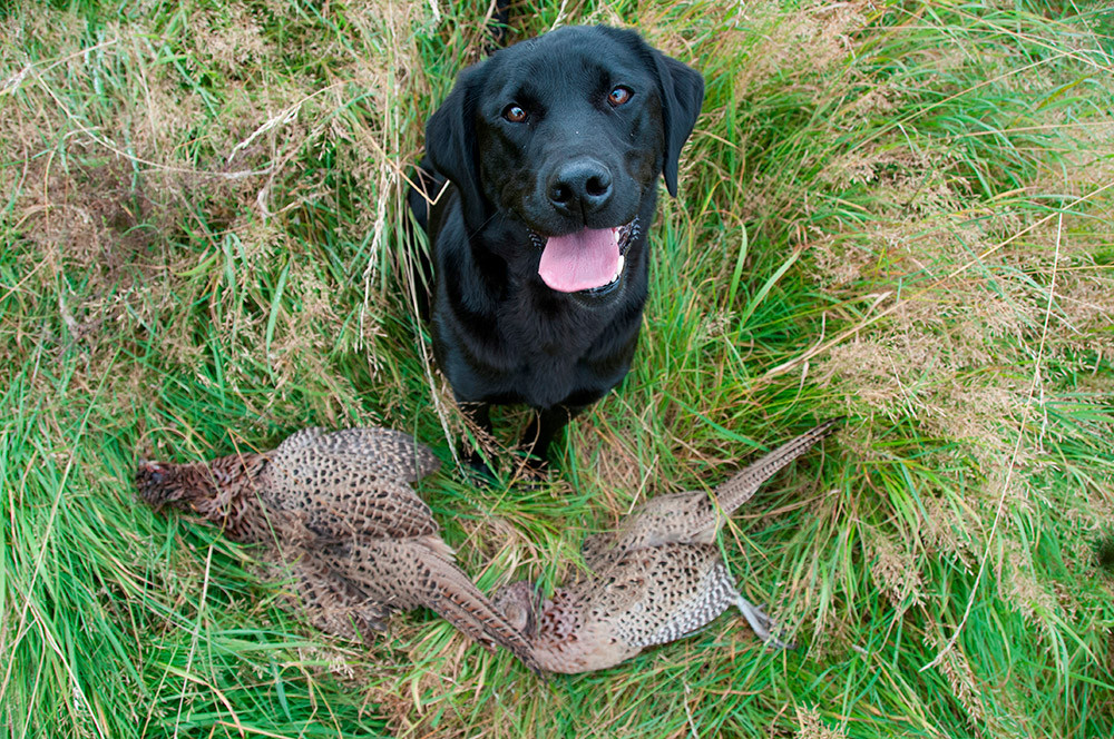 Ruffwood Labs - Labrador Retrievers Hunting Dogs - Alabama, Florida, Tennessee, Mississippi, Georgia
