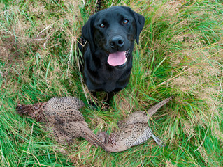 Want a hunting dog? Get a British Lab.