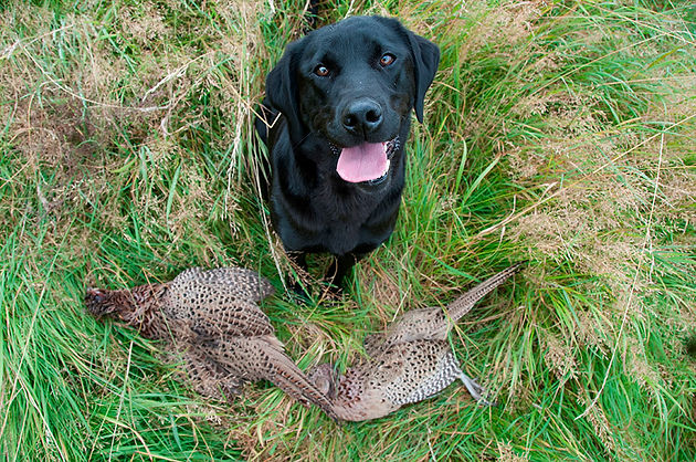 Want a hunting dog? Get a British Lab  | Ruffwood Labs