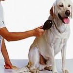 Grooming Tips for the Labrador retriever