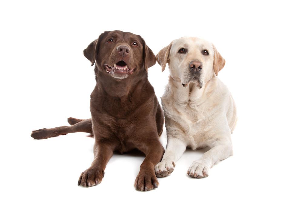 British Lab Puppies For Sale in Alabama