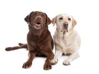 Features of a Labrador Retriever