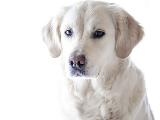 Bringing Home Your British Labrador: 5 Tips to Facilitate a Smooth Transition For Your New Pup