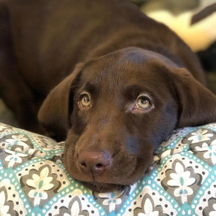 Ruffwood Labs - Alabama Labrador Puppies for Sale