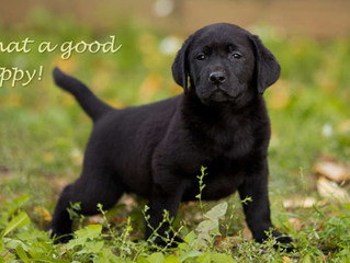 A Short Guide to Potty Training a Lab Puppy