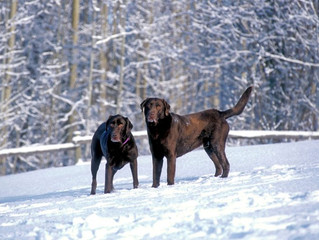 Tips To Keep Your Labrador Safe This Winter