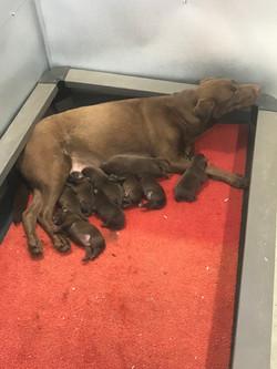 Chocolate British Labrador retrievers
