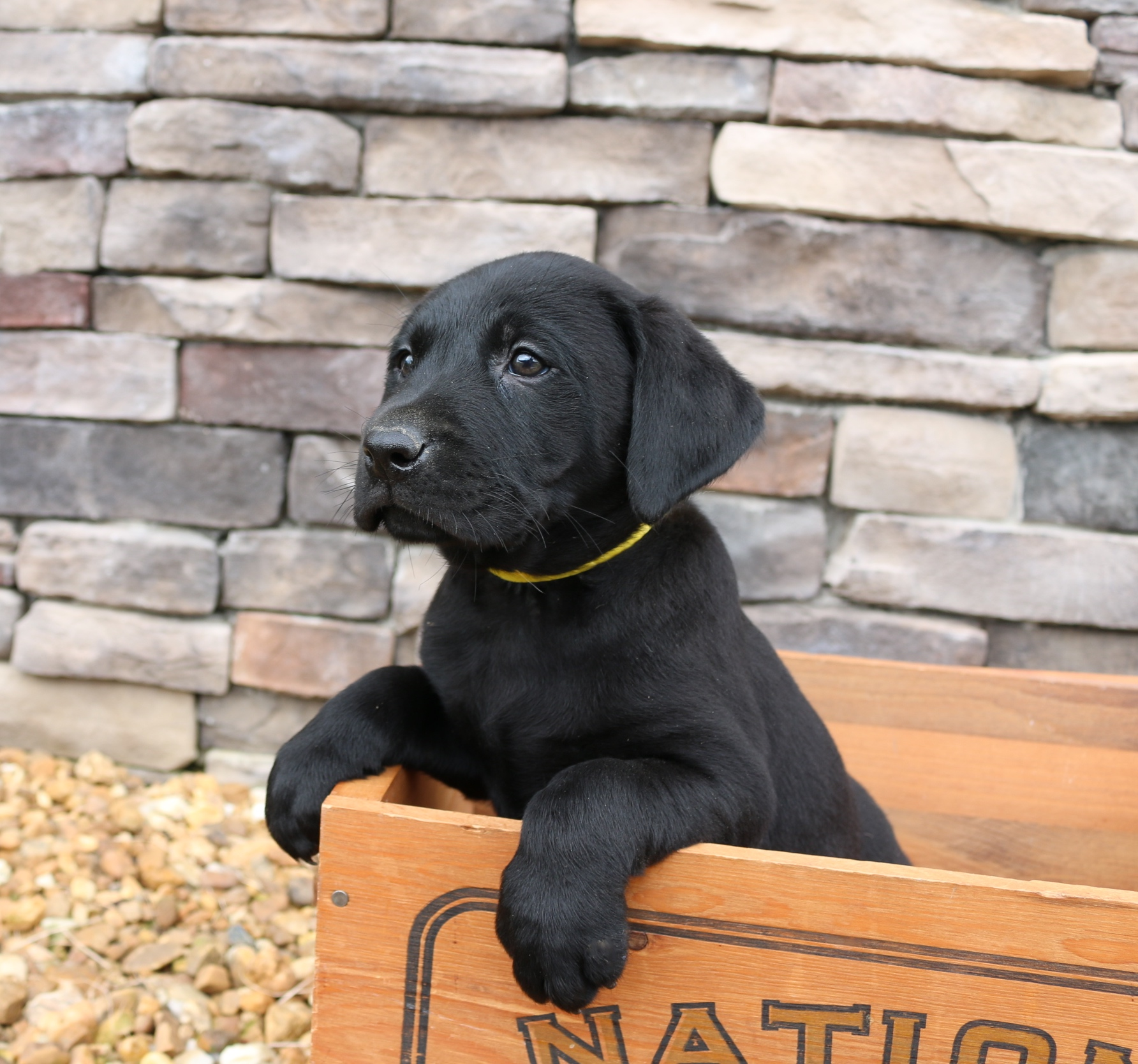 Ruffwood Labs - Fox Red Lab, British Lab - Puppies for Sale