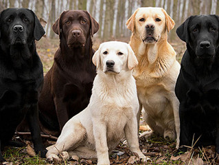 What is the difference in the AKC British Labrador Retriever and the American Labrador Retriever