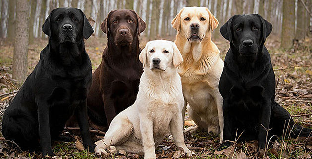 What is the difference in the AKC British Labrador Retriever and the