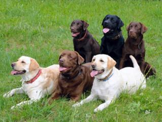 Labrador Retriever and Their Growth Pattern