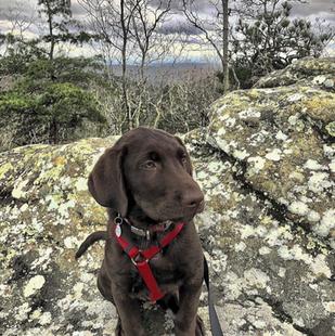 Ruffwood Labs - Alabama Labrador Puppies for Sale