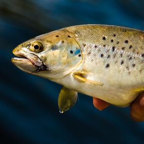 Лов запрещенного черноморского лосося на р. Кодор