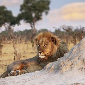 В ЮАР львы загрызли браконьеров