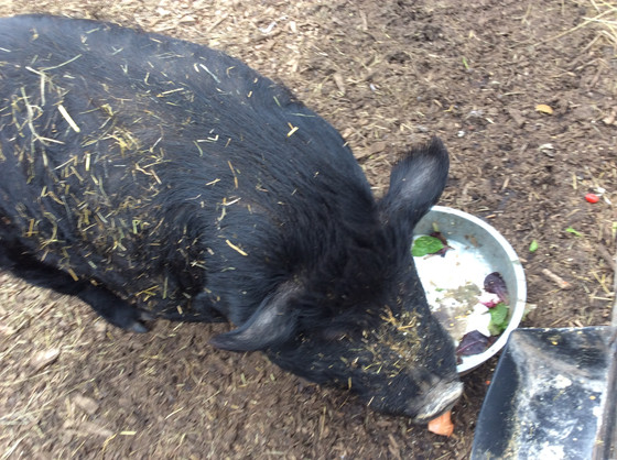 Piggy Piggy Piggy
