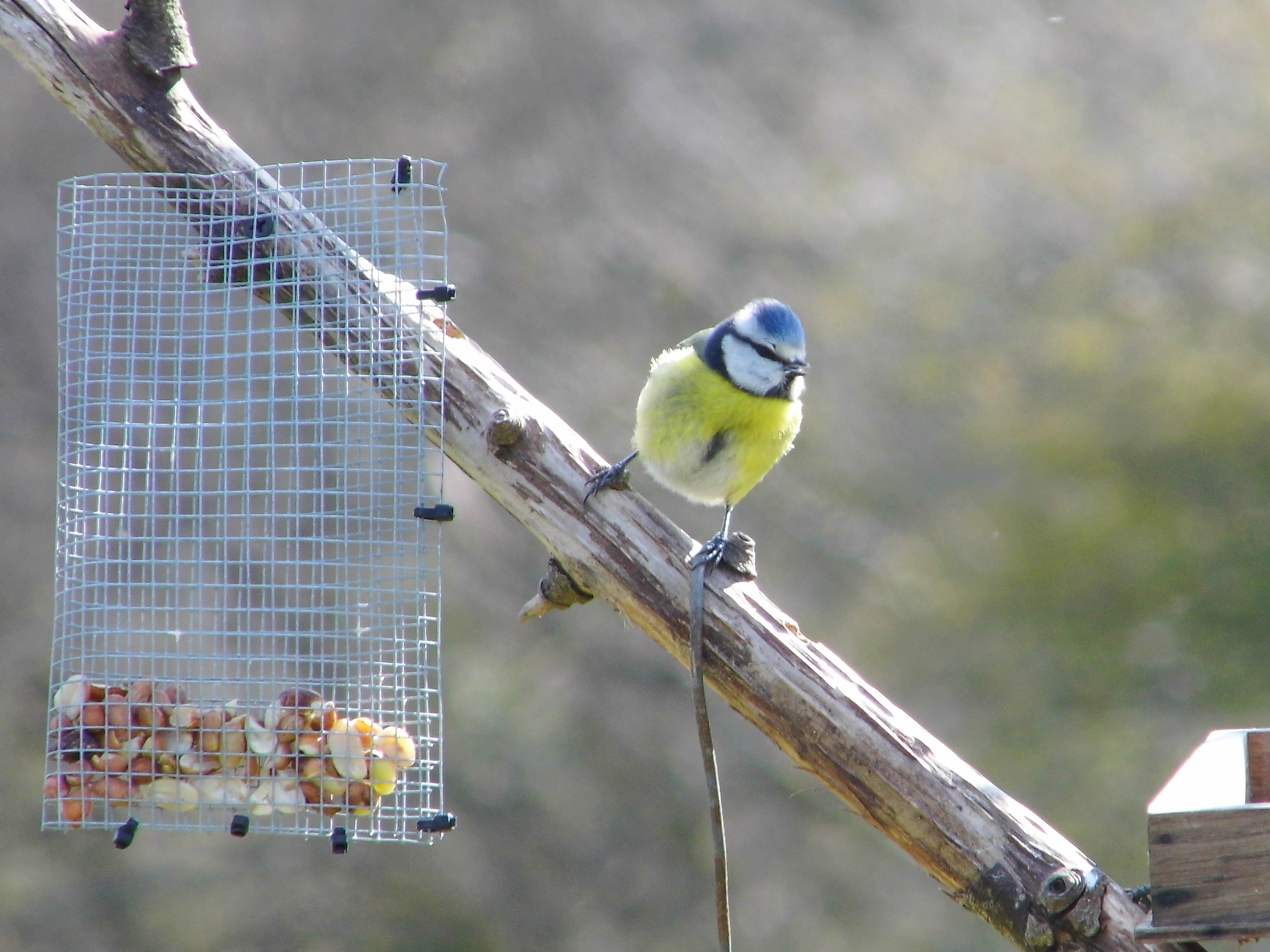 Bert the Blue Tit