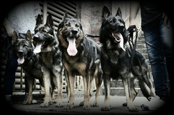 Deutsche Schäferhunde von der Westfa