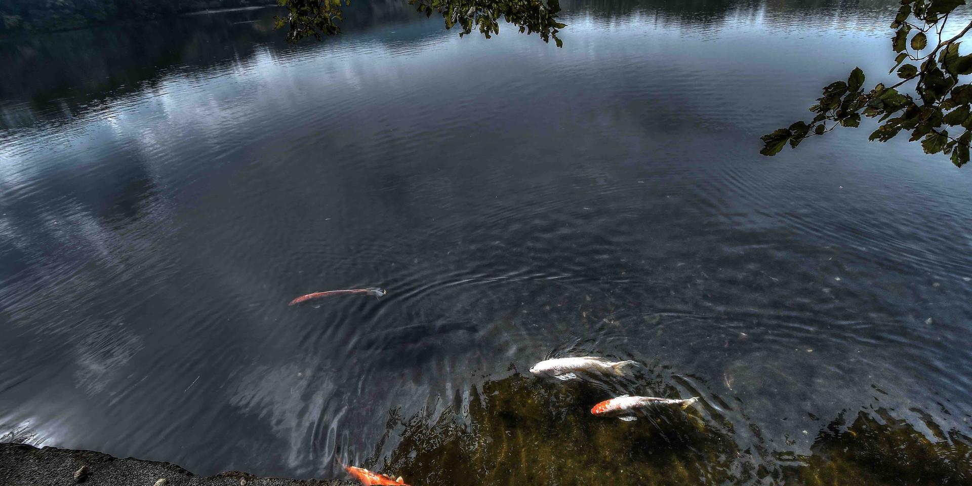 一碧湖の鯉