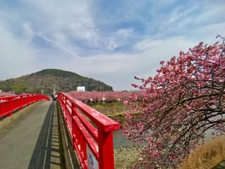 河津の桜祭り会場は大変賑わってました。