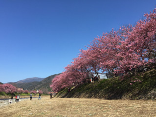 """東伊豆の観光で最も有名で、人が集まると行って良い河津桜祭りの去年の満開の様子をご覧ください/早咲きの""""河津桜""""と""""熱海桜""""と""""伊豆四季の花公園の桜&q"""