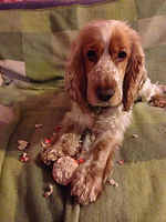 Picture of Cocker Spaniel