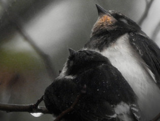 Eén zwaluw...