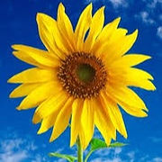 FILL YOUR WINDOWS WITH SUNFLOWERS