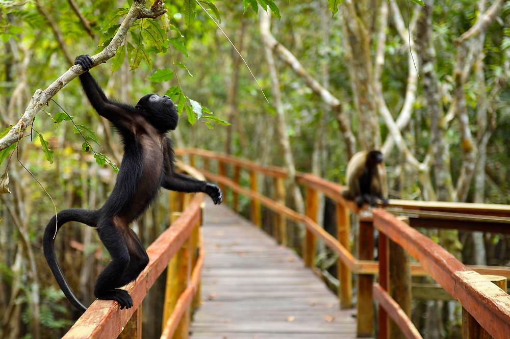 Macacos recepcionam quem chega no Juma Lodge